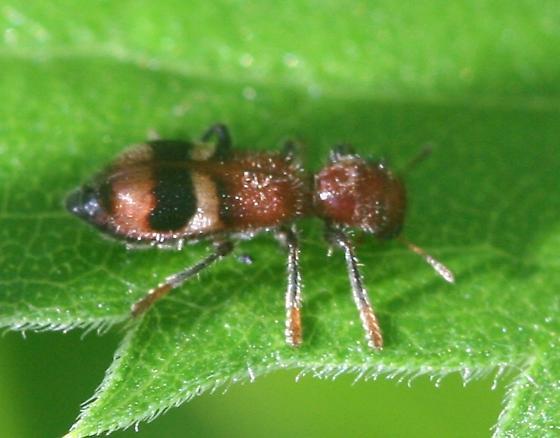 Enoclerus species - Enoclerus rosmarus