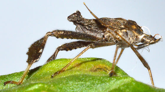 Exuvium - Leptoglossus zonatus