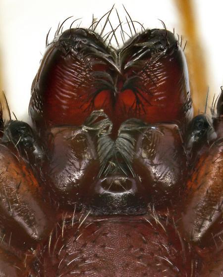 Corinnidae? - Castianeira