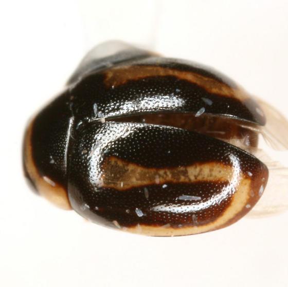 Hyperaspis MAQ sp. 3 - Hyperaspis