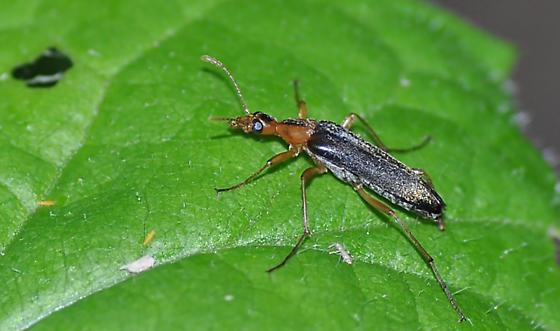 Beetle - Cephaloon