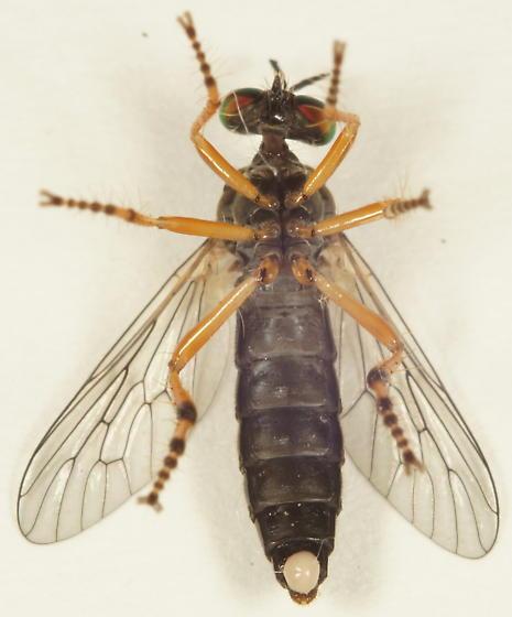 Asilidae? - Taracticus octopunctatus