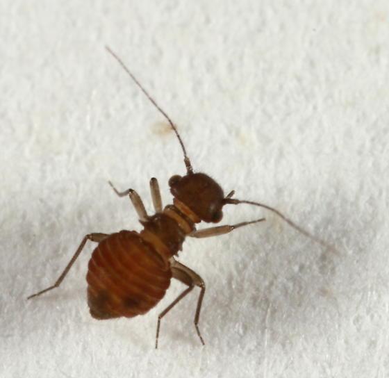 Barklouse - Lachesilla michiliensis - female