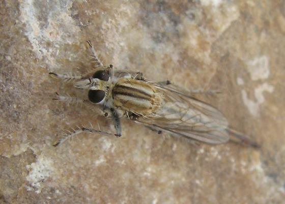Robber fly - Proctacanthella exquisita