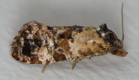Hoffman's Cochlid Moth - Cochylichroa hoffmanana