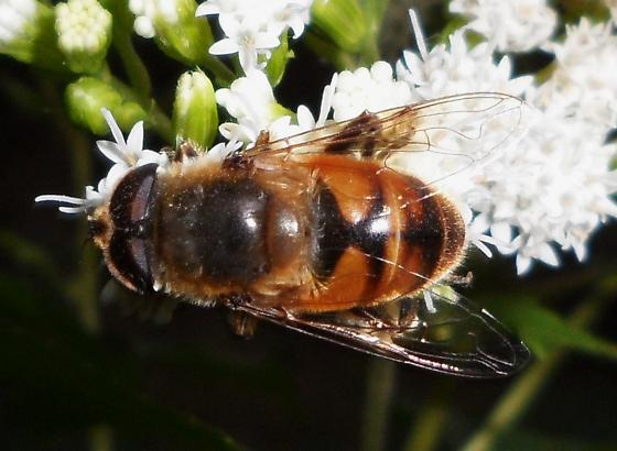 Drone Fly - Eristalis tenax - male