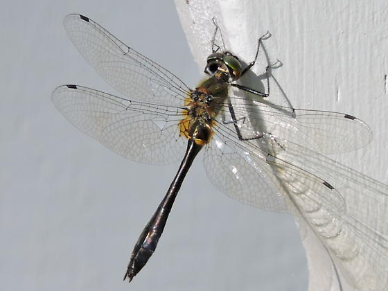 another Racket-tailed Emerald dragonfly ? - Dorocordulia libera