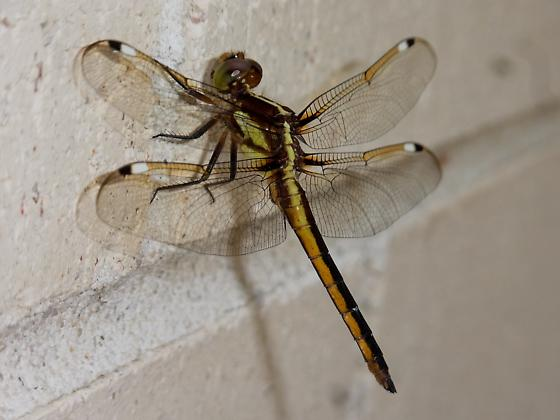 Black and Yellow Dragonfly - Libellula cyanea - male