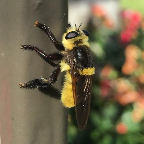 Robber Fly - not sure the spp - Mallophora orcina