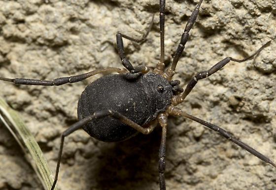 E. roeweri - Eumesosoma roeweri - female