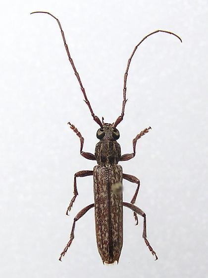 Oak Twig Borer Longhorn - Anelaphus parallelus