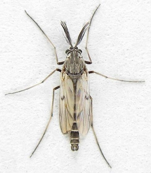 Another Interesting Midge - Procladius - male