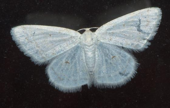 White Geometrid moth - Protitame virginalis - female