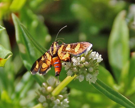 spotted moth with red-orange abdomen with blue stripes - Syngamia florella
