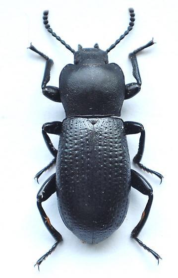 Darkling beetle - Scotobaenus parallelus
