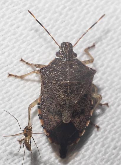 Brown stink bug - Podisus maculiventris