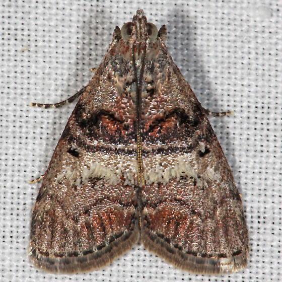 Unknown Micromoth - Pococera asperatella - female