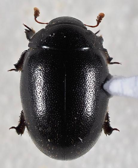 Unknown Beetle - Nosodendron unicolor