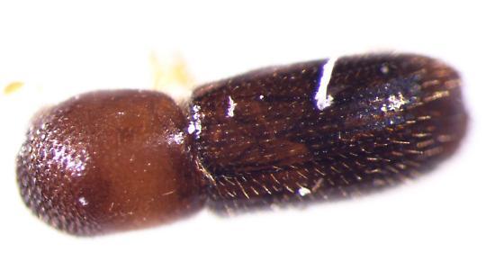 bark borer - Xyleborinus saxesenii