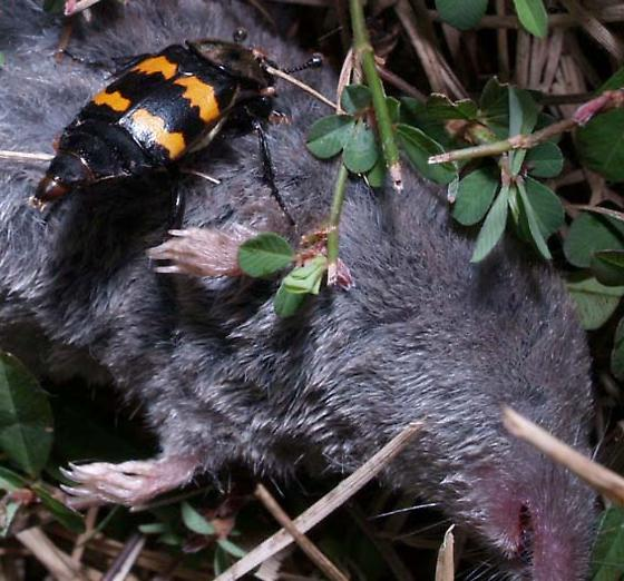 Carrion beetle on dead shrew - Nicrophorus tomentosus