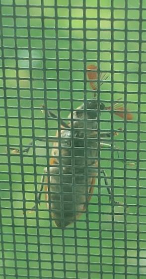 Weird beetle like bug with eyebrows