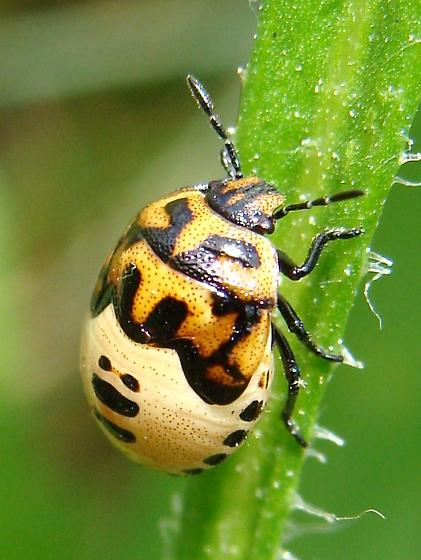 Twice-stabbed Stink Bug nymph - Cosmopepla lintneriana
