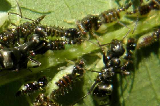 Ants Tending Hoppers - Formica subsericea