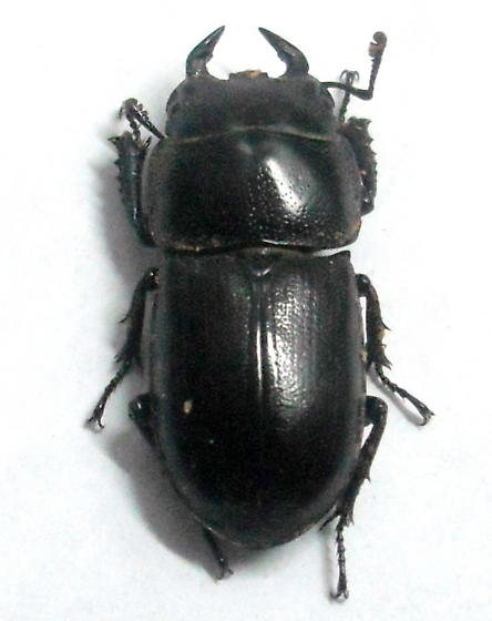 Dorcus brevis male  - Dorcus brevis - male