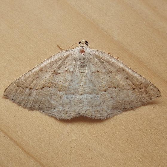 Geometridae: Tacparia detersata - Tacparia detersata