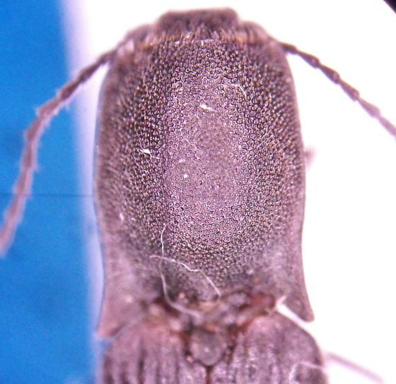 Elaterid 7 - Corymbitodes moerens