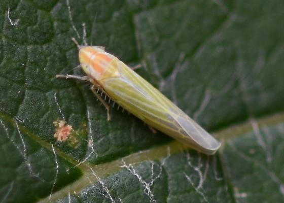 Leafhopper - Dikraneura angustata