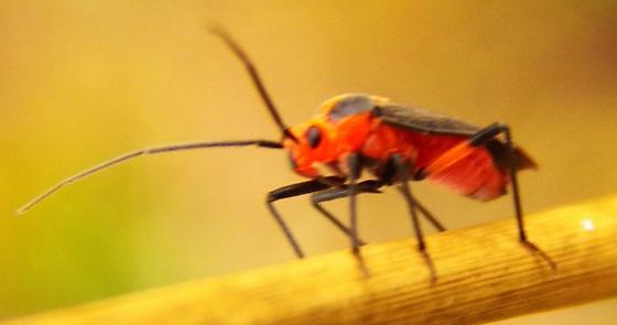 Orange and black bug ID
