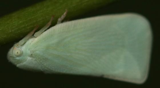 White planthopper  - Flatormenis proxima