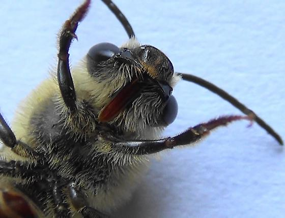 Mr. Squash Bee #1 of 3 - Peponapis pruinosa - male