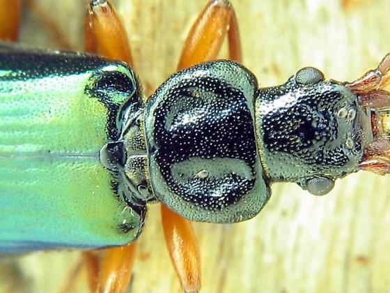 P. planus or something else? - Pytho americanus