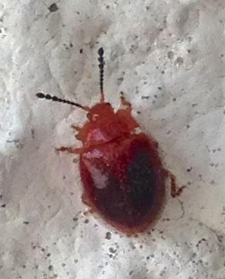 Handsome Fungus Beetle - Stenotarsus