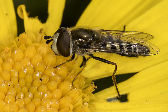 Syrphid Fly on Euryops - Eupeodes volucris