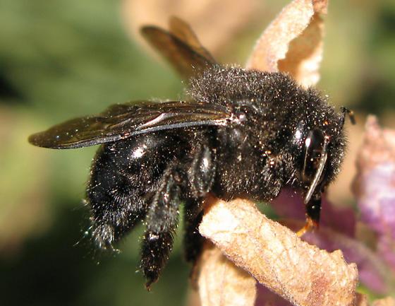 Dead Bumble Bee Xylocopa Tabaniformis Bugguide Net