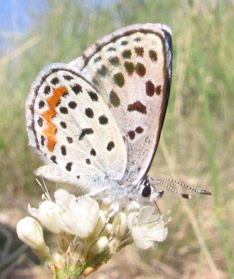 Rita Blue - Euphilotes rita - male