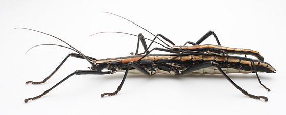 Anisomorpha buprestoides - male - female
