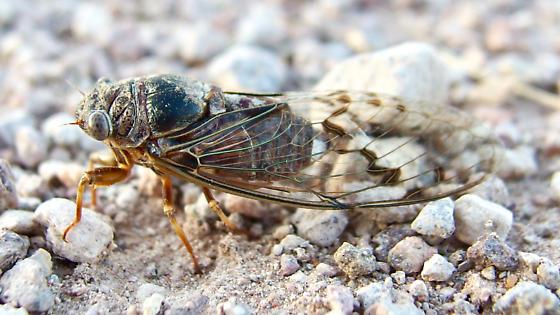 cicada - Hadoa duryi? - Diceroprocta swalei