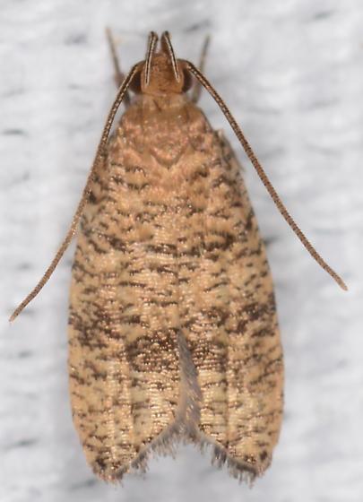 Psilocorsis - Psilocorsis cryptolechiella