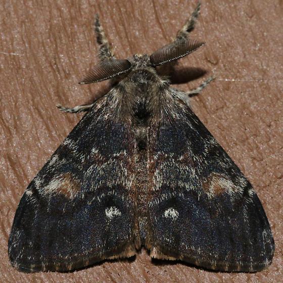 Orgyia pseudotsugata - male