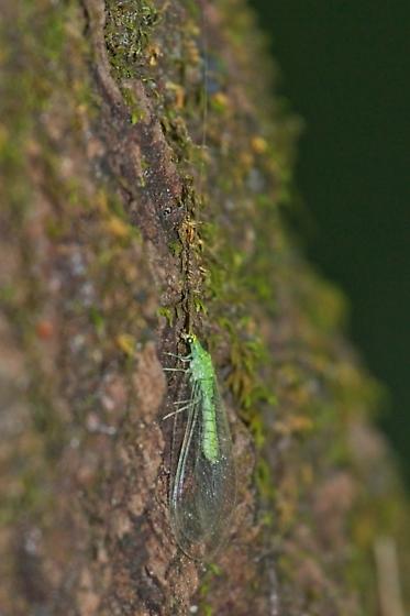 green lacewing - Leucochrysa floridana