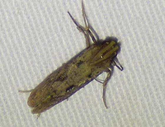 Acrolophus - Tubeworm Moths - Acrolophus