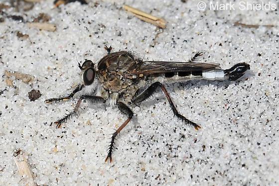 Is this Efferia albibarbis? - Efferia albibarbis - male