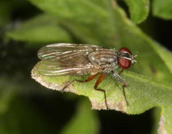 Striped fly on leaf - Bithoracochaeta leucoprocta