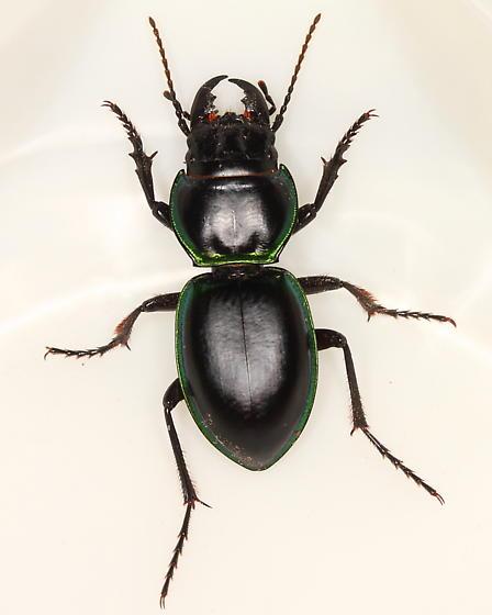 Carabid - Pasimachus viridans