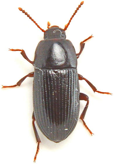 W152 - Eutochia crenata