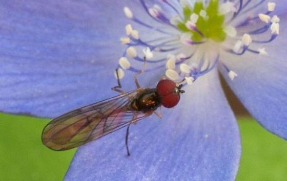 Insect on Anemone oregana - Baccha elongata